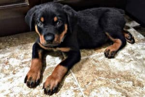 how to choose a rottweiler puppy